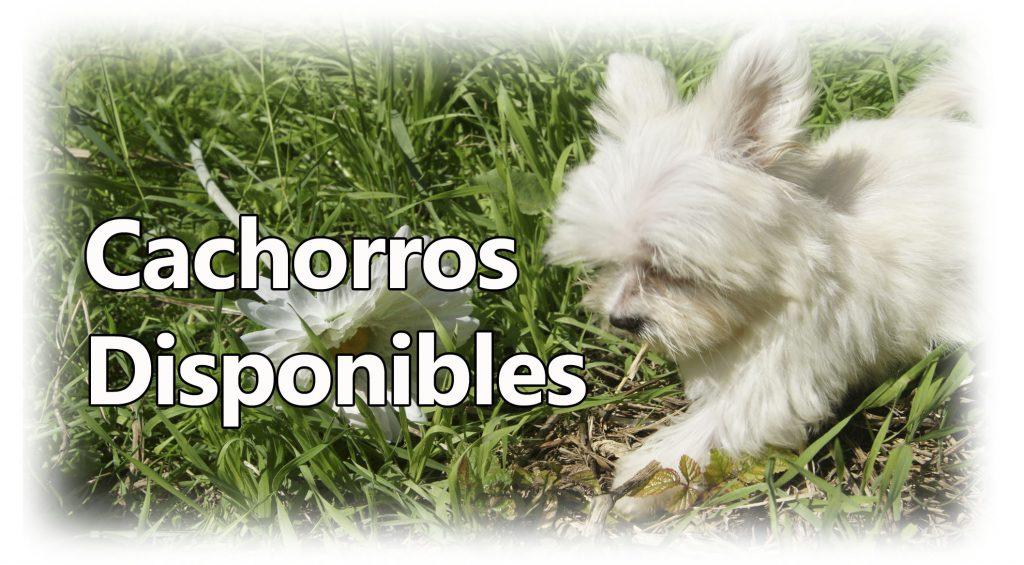 Cachorros Disponibles de Amare de Domi Canes